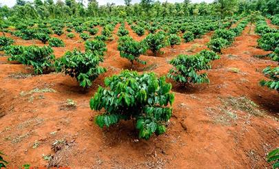 Đất đỏ badan thích hợp cho cây cà phê