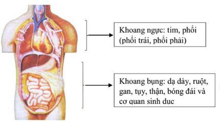 Các cơ quan ở phần thân của cơ thể người