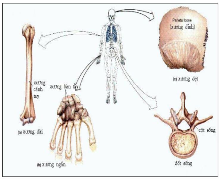 Hình 7.5 Phân biệt các loại xương