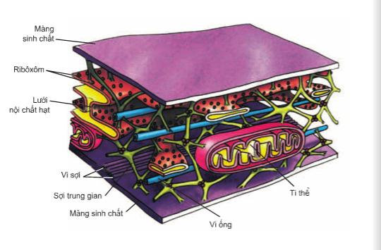 Hình 10.1 Cấu trúc khung xương tế bào