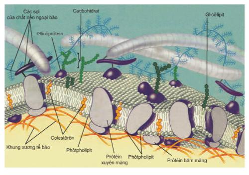 Hình 10.2 Cấu trúc màng sinh chất theo mô hình khảm động