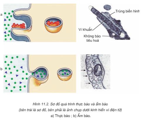 Hình 11.2 Sơ đồ quá trình thực bào và ẩm bào