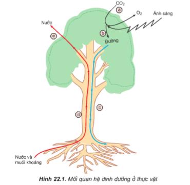 Hình 22.1 Mối quan hệ dinh dưỡng ở thực vật