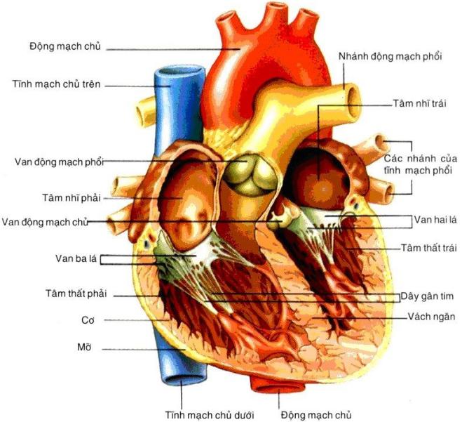 Cấu tạo bên trong của tim