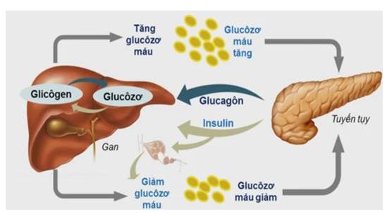 Sơ đồ quá trình điều hòa đường huyết
