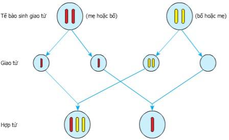 Cơ chế phát sinh thể dị bội 2n+1 và 2n-1
