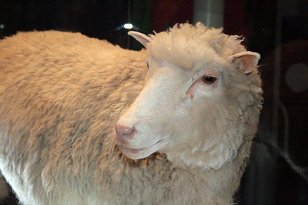 Hình 1: Cừu Đôli, động vật đầu tiên ra đời bằng phương pháp sinh sản vô tính