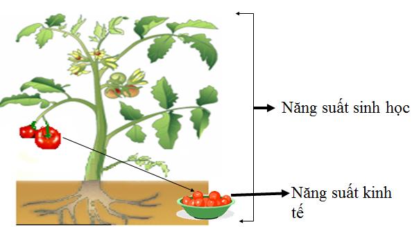 Hình 1: Năng suất sinh học và năng suất kinh tế ở cây cà chua