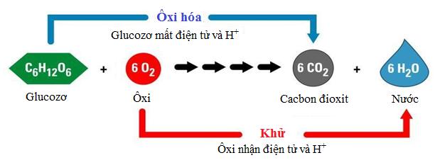 Phương trình tổng quát quá trình hô hấp