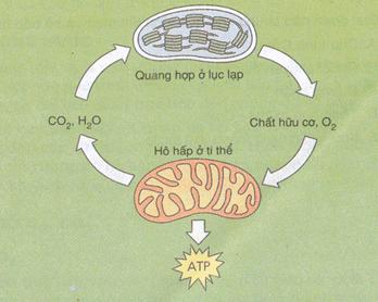 Mối quan hệ giữa hô hấp và quang hợp