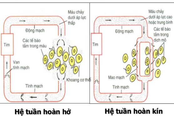 Hệ tuần hoàn kín và hệ tuần hoàn hở