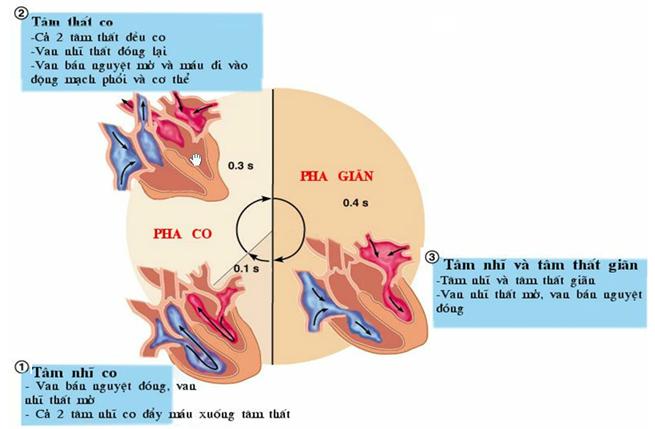 Chu kì hoạt động của tim