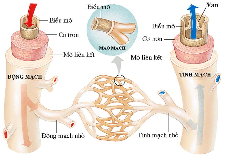 Cấu trúc của hệ mạch