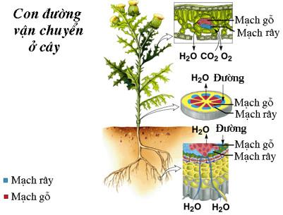 Con đường vận chuyển các chất trong cây