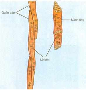 Cách sắp xếp của quản bào và mạch ống