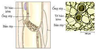 Cấu tạo mạch rây