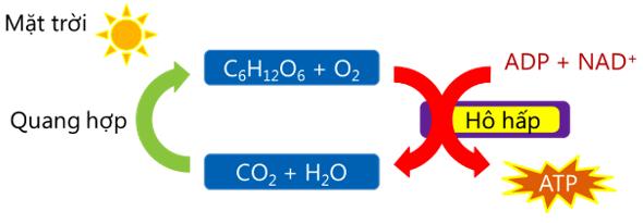 Mối quan hệ giữa quang hợp và hô hấp ở thực vật