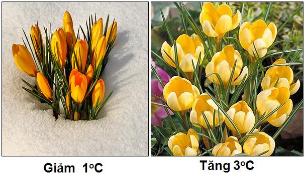 Sự nở hoa theo nhiệt độ (ứng động sinh trưởng)