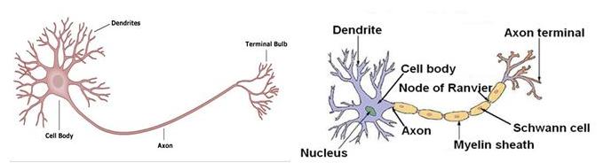 Tế bào thần kinh không có bao mielin và có bao melin