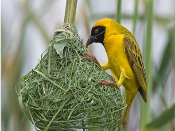 Chim xây tổ