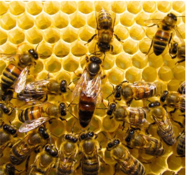 Tập tính xã hội ở ong