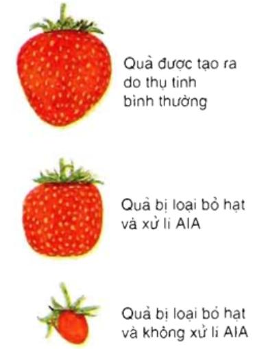 Hạt là nguồn cung cấp AIA cho quả phát triển (Nếu hạt của dâu tây bị loại bỏ sau khi thụ tinh có thể thay thế nó bằng cách xử lí AIA ngoại sinh )