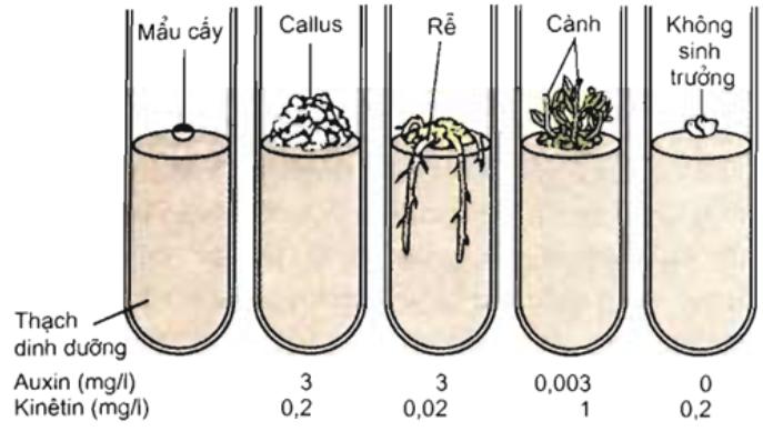 Ảnh hưởng của Kitenin đến sự hình thành chồi ở mô callus (xitokinin được dùng trong nuôi cấy tế bào mô thực vật)