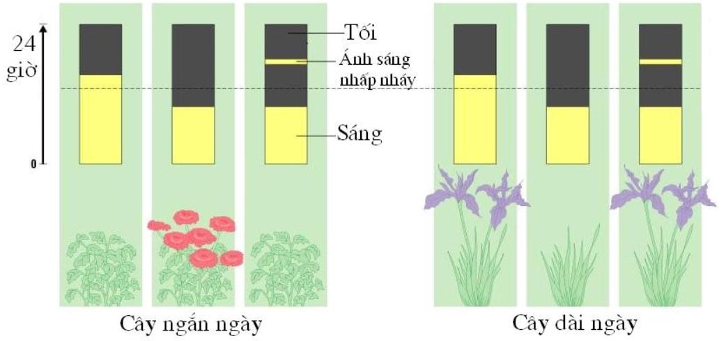Sự ra hoa ở cây dài ngày và cây ngắn ngày