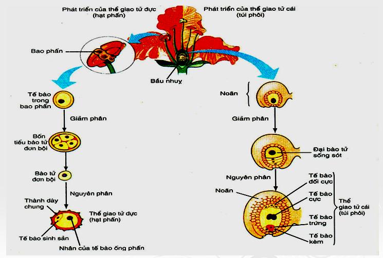 Quá trình hình thành hạt phấn và túi phôi
