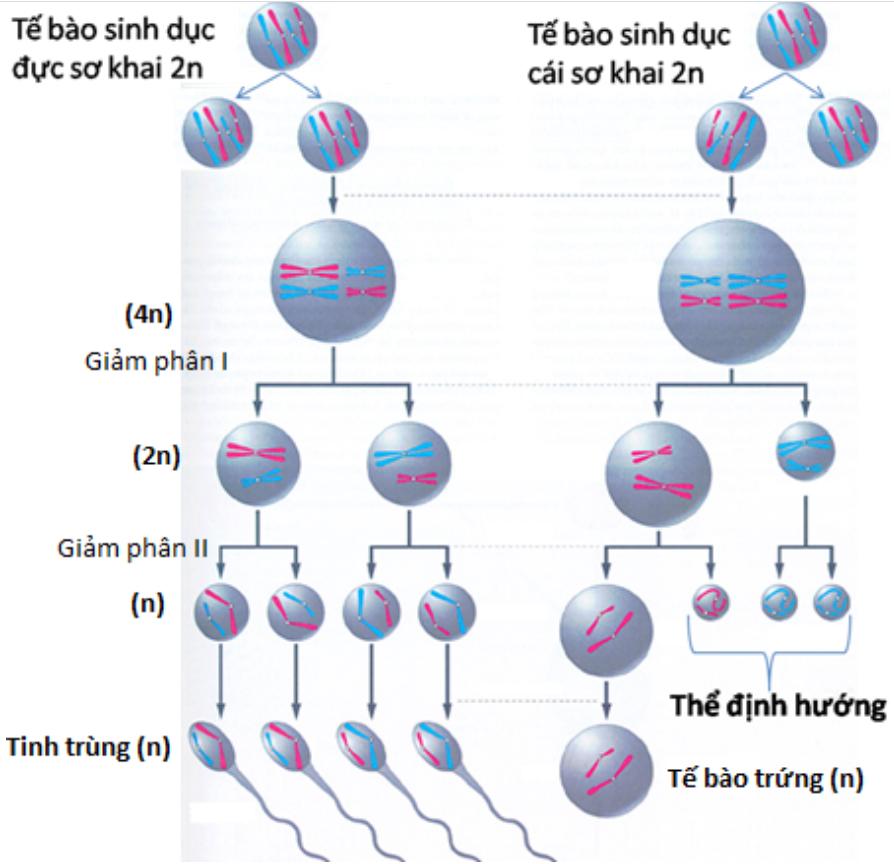 Giai đoạn hình thành tinh trùng và trứng