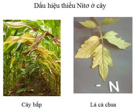 Vai trò điều tiết của nito