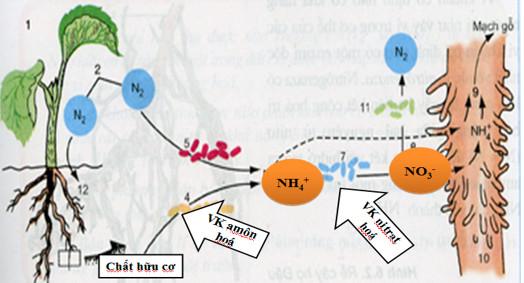 Các giai đoạn chuyển hóa nito trong đất