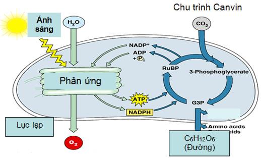 Sơ đồ quá trình quang hợp ở thực vật C3