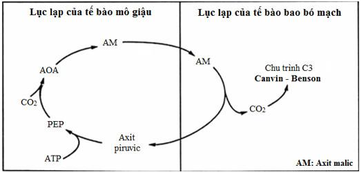Sơ đồ quá trình quang hợp ở thực vật C4