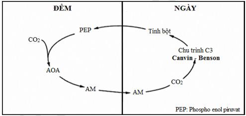 Sơ đồ quá trình quang hợp ở thực vật CAM