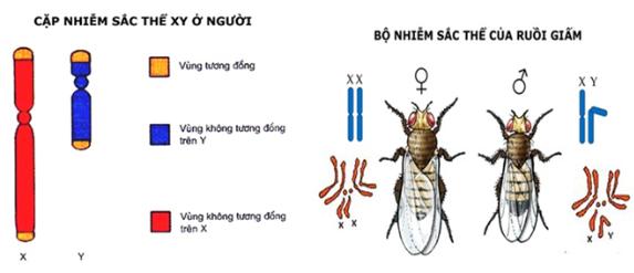 Bộ nhiễm sắc thể của người và ruồi giấm