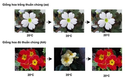 Ảnh hưởng của nhiệt độ lên màu hoa Anh Thảo
