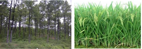 Quần thể rừng thông và quần thể đồng lúa