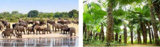 Quần thể voi và quàn thể rừng cọ ở Phú Thọ