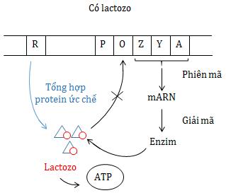 Điều hòa hoạt động của gen khi môi trường có lactozo