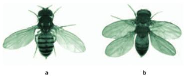 Thí nghiệm thực nghiệm về tiến hóa lớn ở ruồi giấm