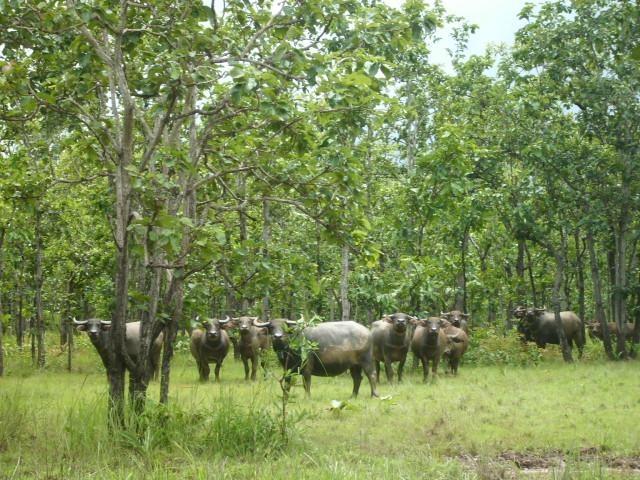 Quần thể trâu ở khu bảo tồn Yokđôn