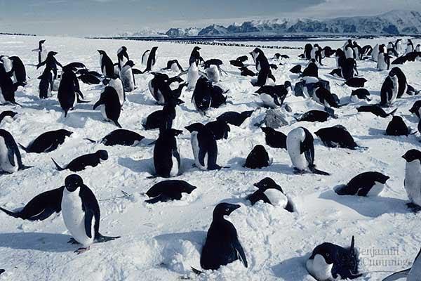 Chim cánh cụt làm tổ