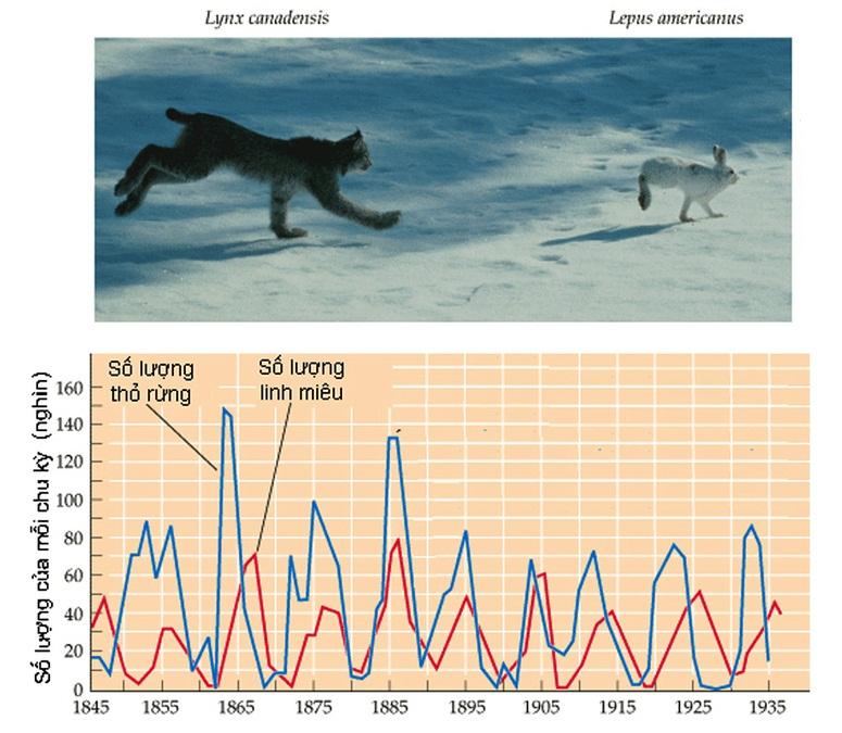 Đồ thị biến động số lượng của thỏ rừng và linh miêu