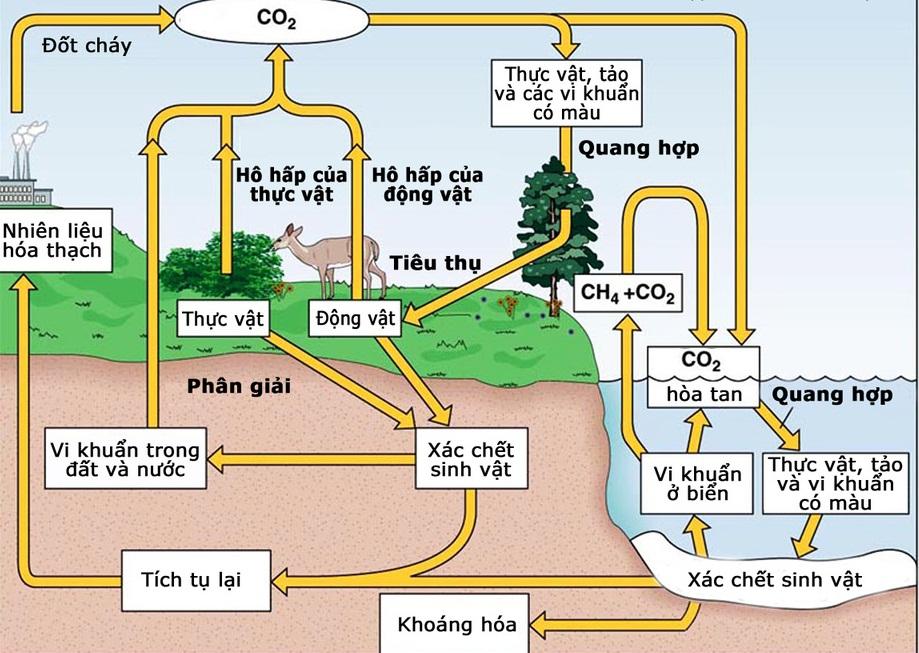 Chu trình cacbon