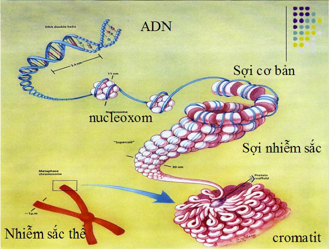 Các mức cấu trúc xoắn của NST